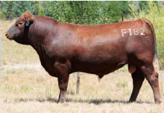 red-angus